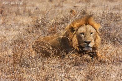 Lion couché, Cratère du Ngorongoro, Tanzanie, Juillet 2011