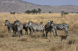 Zèbres et antilope dans le parc Serengeti, Tanzanie, Juillet 2011