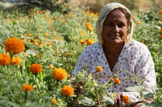 Dans les champs, Rajasthan, Octobre 2017