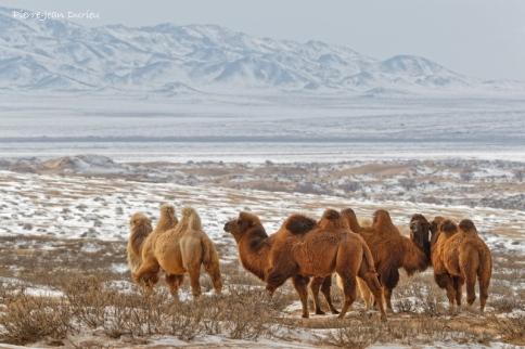 Chameaux dans la neige, petit gobi, Mongolie, Mars 2020